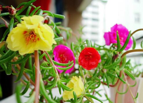 半支蓮對家居環境的影響-半支蓮的風水學應用
